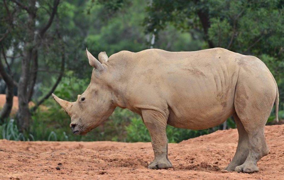 Женски носорог от Тайван ще търси любовта в Япония