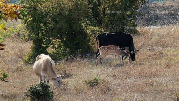 Драма в Родопите! Елен се влюби в стадо крави, издадоха разрешително за отстрела му (ВИДЕО)