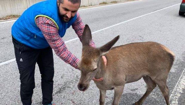 Спасиха кошута, блъсната на пътя Смолян - Пловдив
