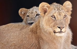 нидерландия борят живота лъвчето терез