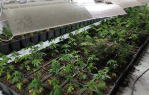 Полицията разкри нарколаборатория за канабис в луковитско село