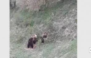 стадо мечки плаши жителите родопски села
