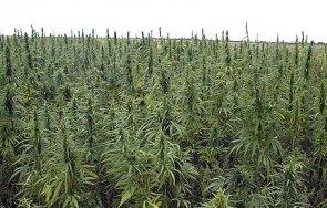 пращат съд плантатори ниви марихуана симитли