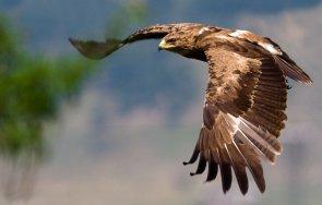откриха гнезда малък креслив орел нас