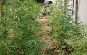 спипаха оранжерия марихуана ферма охлюви снимки