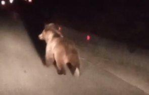 мечка спринтира главния път асеновград смолян