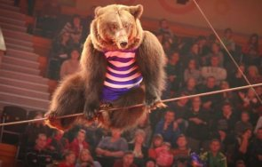 мечка нападна бременна дресьорка руски цирк видео