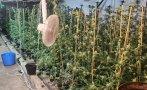Разкриха наркооранжерия в монтанското село Говежда (СНИМКИ)