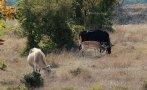 Еленче с крави Родопите