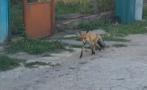 лисици разхождат населените места сигналите валят един друг софия варна плевен